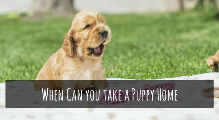 when can you take a puppy home