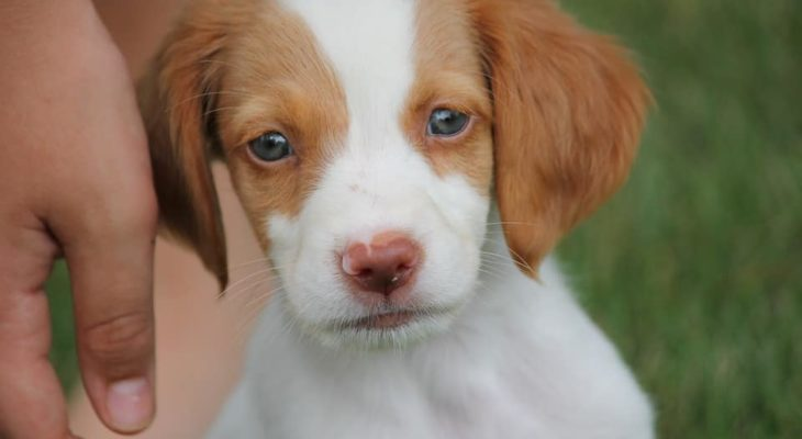 Brittany Spaniel Breeders