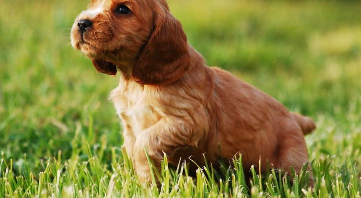 American Cocker Spaniel Breeders