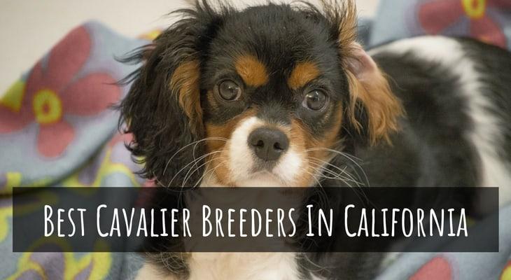 Best Cavalier King Charles Spaniel Breeders In California