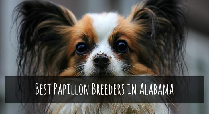 Best Papillon Breeders in Alabama