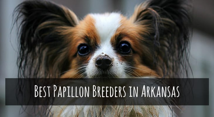 Best Papillon Breeders in Arkansas