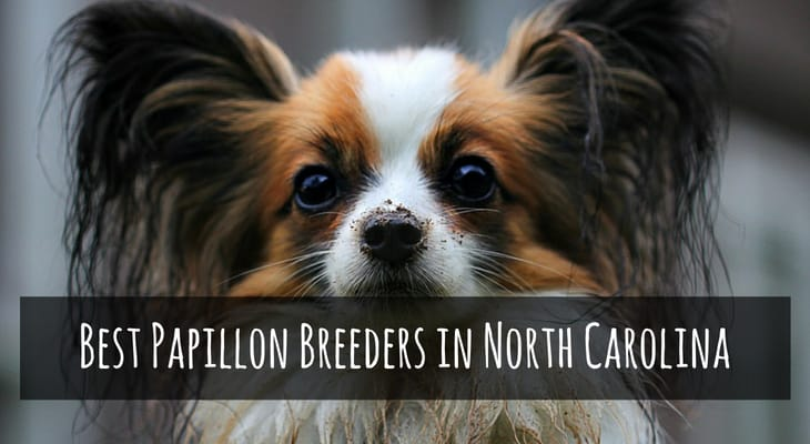 Best Papillon Breeders in North Carolina