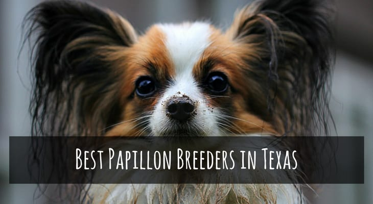 Best Papillon Breeders in Texas