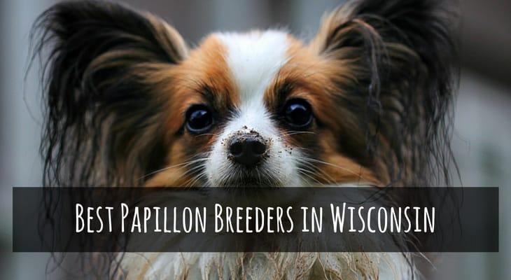 Best Papillon Breeders in Wisconsin