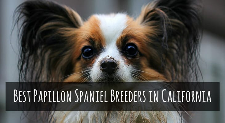 Best Papillon Spaniel Breeders in California