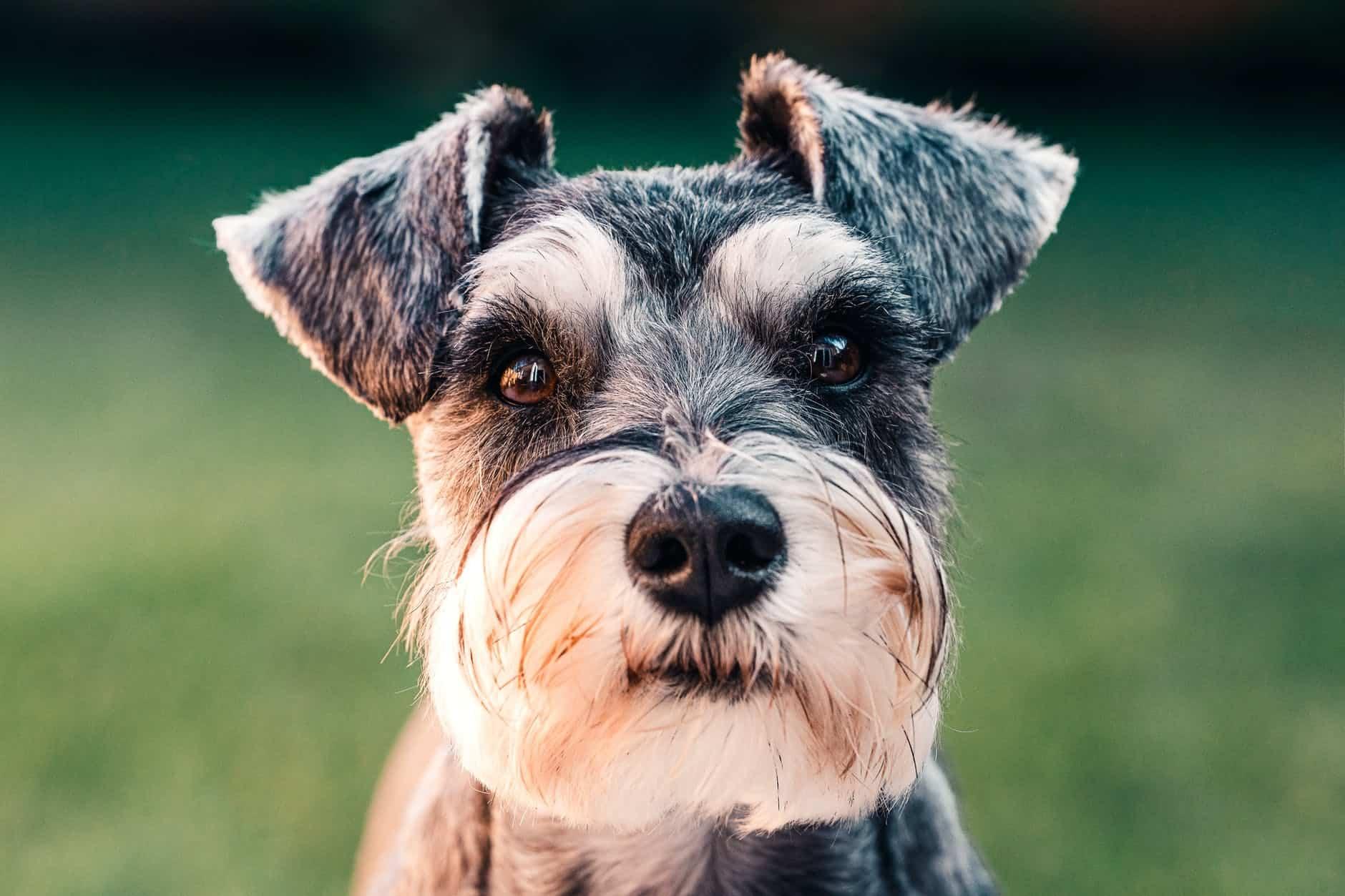 black and white long coated small sized dog