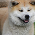 Akita Dog Breed (Complete Guide)