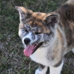 How big do Akita dogs get?