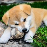 How much are Akita puppies?