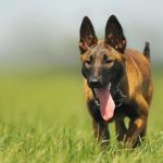 Belgian Malinois Dog Breed (Complete Guide)