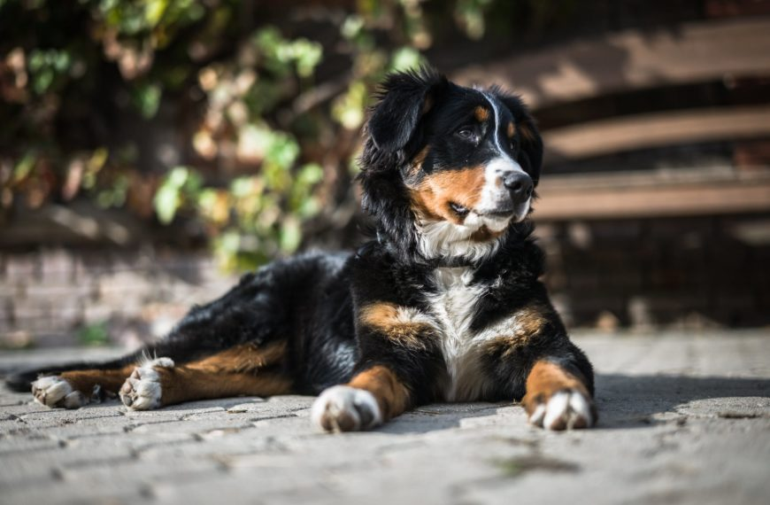 Bernese Mountain Dog Breed (Complete Guide)