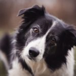 Border Collie Dog Breed (Complete Guide)
