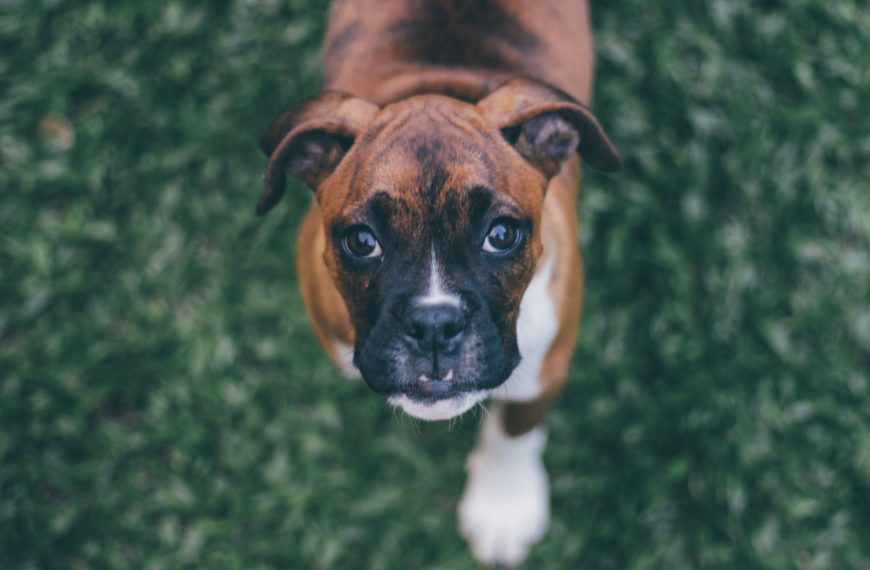 Boxer Dog Breed (Complete Guide)