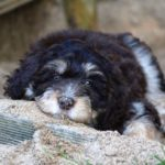 Aussiedoodle Dog Breed (Complete Guide)