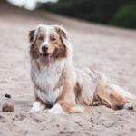 Australian Shepherd Dog Breed (Complete Guide)