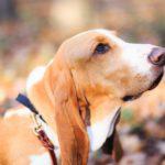 Basset Hound Dog Breed (Complete Guide)