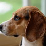 Beagle Dog Breed (Complete Guide)