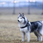 Alaskan Klee Kai Dog Breed (Complete Guide)