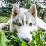 Australian Shepherd Husky Dog Breed (Complete Guide)