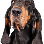 Black and Tan Hound Dog Breed (Complete Guide)