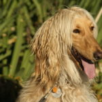 Afghan Hound Dog Breed (Complete Guide)