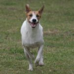 Africanis Dog Breed (Complete Guide)