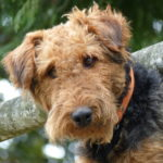 Airedale Terrier Dog Breed (Complete Guide)