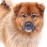 Akita Chow Dog Breed (Complete Guide)