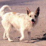 Alopekis Dog Breed (Complete Guide)
