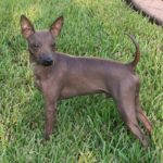 American Hairless Terries Dog Breed (Complete Guide)
