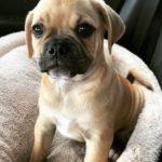 American Pugabull Dog Breed (Complete Guide)
