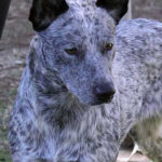 Australian Stumpy Tail Cattle Dog Breed (Complete Guide)