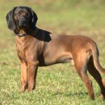Bavarian Mountain Scent Hound Dog Breed (Complete Guide)