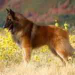 Belgian Tervuren Dog Breed (Complete Guide)