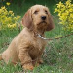 Basset Fauve de Bretagne Dog Breed (Complete Guide)