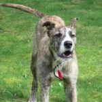 American Staghound Dog Breed (Complete Guide)
