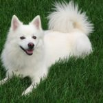American Eskimo Dog Breed (Complete Guide)