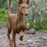 Andalusian Hound Dog Breed (Complete Guide)