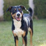 Appenzeller Sennenhund Dog Breed (Complete Guide)