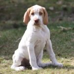 Ariegeois Pointer Dog Breed (Complete Guide)