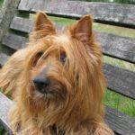 Australian Terrier Dog Breed (Complete Guide)