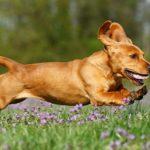 Bassador Dog Breed (Complete Guide)