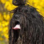 Bergamosco Sheepdog Dog Breed (Complete Guide)