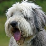 Bearded Collie Dog Breed (Complete Guide)