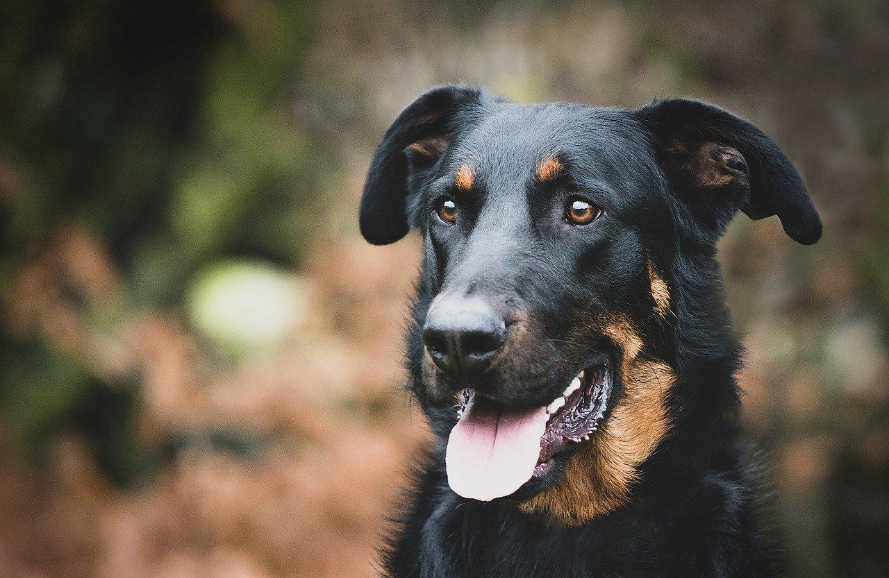 beauceron dog