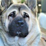 Akita Shepherd Dog Breed (Complete Guide)