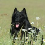 Belgian Sheepdog Breed (Complete Guide)
