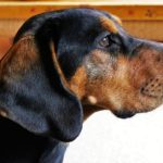 Australian Black and Tan Hound Dog Breed (Complete Guide)