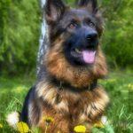 Bohemian Shepherd Dog Breed (Complete Guide)